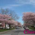 Plum trees versus cherry trees: how to tell the difference and identify them