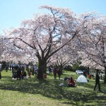 Hanami picnic at Queen Elizabeth Park
