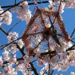 Godsai in the cherry trees (Commercial/Napier)