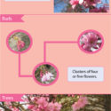 Whitcomb cherry trees identification guide (infographic)