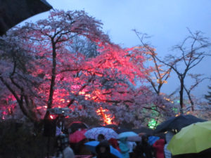 Sakura Illuminations 2018