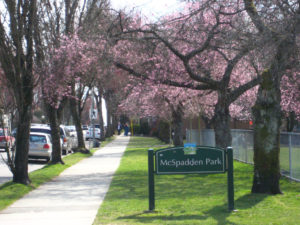 Whitcomb cherry blossoms at McSpaden Park Vancouver